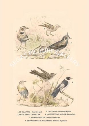Calandra Lark, Eurasian Skylark, Crested Lark, Marsh-Lark, Spotted Flycatcher, Collared Flycatcher